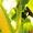 Насіння кукурудзи Гран 310 (ФАО 250) #1502766