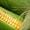 посівний матеріал гібриду кукурудзи ГРАН 6(ФАО 300) #1508479