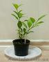 Комнатные плодовые растения