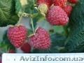 Саженцы малины крупноплодной Венгерка