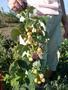 Саженцы крупноплодной малины и кубники .Высылаю по территории Украин