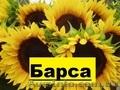 насіння соняшнику - Барса (112 – 116 дн)