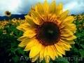 Посівний матеріал соняшнику Українське сонечко (90-95 дн),