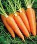 Морковь товарная