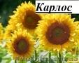 Посівний матеріал соняшнику під класичну технологію вирощування